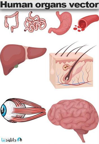 Human-organs-vector