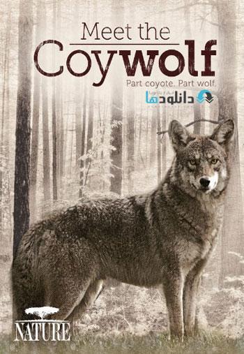 Meet.the.Coywolf دانلود مستند ملاقات با کایولف   PBS: Meet The Coywolf