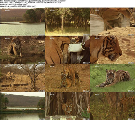 National.Geographic.Wild.Tiger.Queen.HD.720p. دانلود مستند ببر ملکه NG Tiger Queen 2012