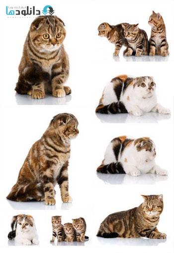 Scottish-Fold-Cats