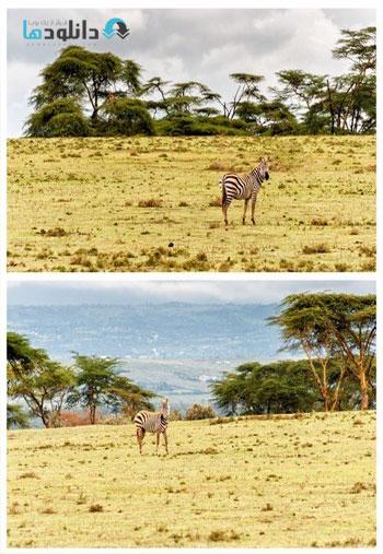 african-zebra