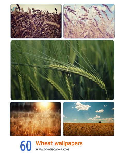 60-Wheat-wallpapers-Cover