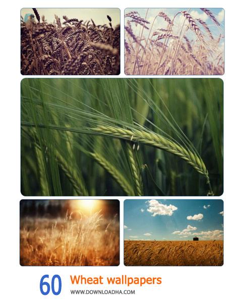 60 Wheat wallpapers Cover%28Downloadha.com%29 دانلود مجموعه 60 والپیپر زیبای گندم