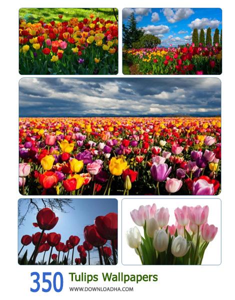 350 Tulips Wallpapers Cover%28Downloadha.com%29 دانلود مجموعه 350 والپيپر گل هاي لاله