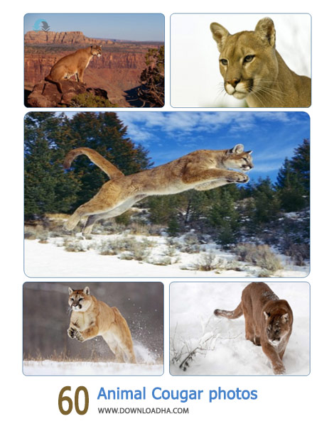 60-Animal-Cougar-photos-Cover