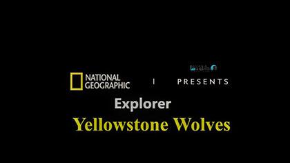 دانلود-مستند-Yellowstone-Wolves-2019