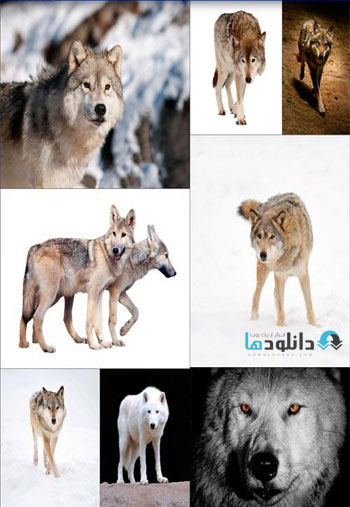 Beautiful-wild-wolf
