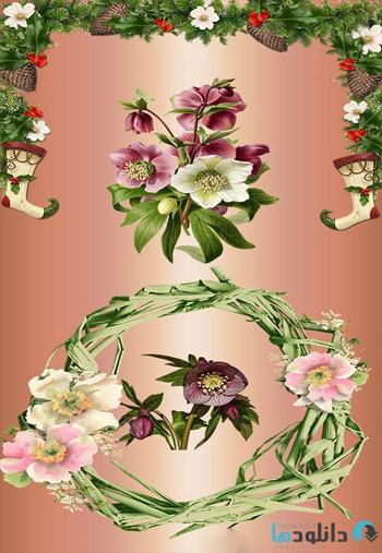 Christmas-rose-Helleborus-on-a-transparent-background