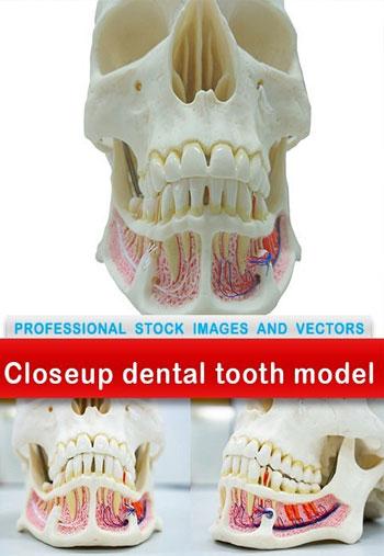 Closeup-dental-tooth-model