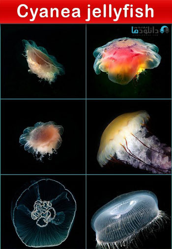 Cyanea-jellyfish