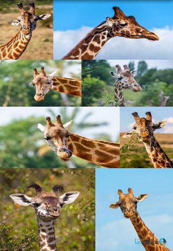Giraffes-2,-15-x-UHQ-JPEG