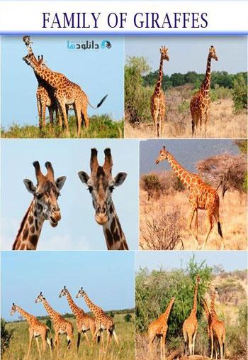 Family-of-giraffes