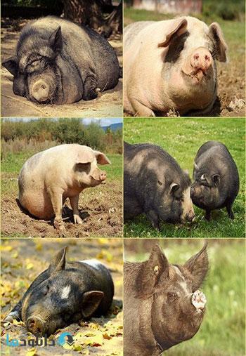 Fat-lazy-pig