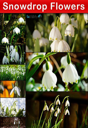 Snowdrop-Flowers