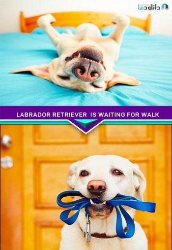 Labrador-retriever-is-waiting-for-walk