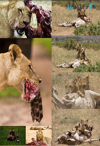 Lioness-hunt