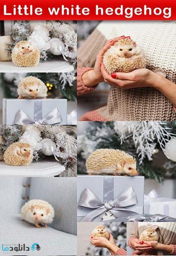 Little-white-hedgehog