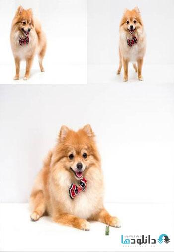 https://img5.downloadha.com/AliGh/IMG/Pomeranian-Dog-on-a-White-Background-Stock.jpg