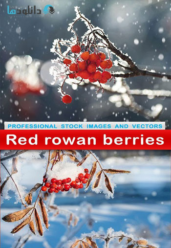 Red-rowan-berries