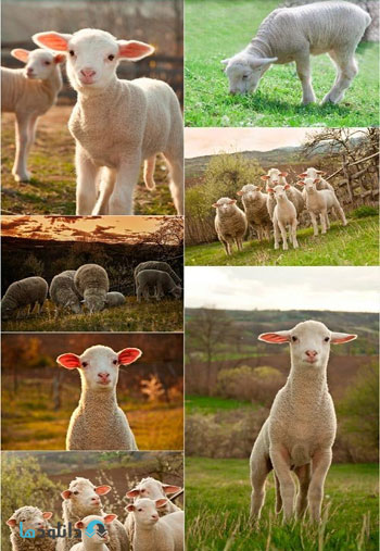 Sheep-on-pasture-