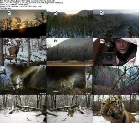Siberian.Tiger.Quest.HDTV.7 دانلود مستند 2012 Siberian Tiger Quest