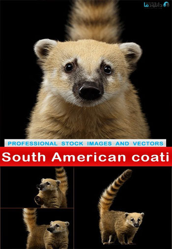 South-American-coati