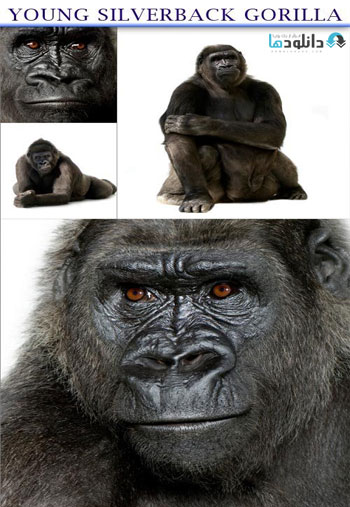 Young-Silverback-Gorilla