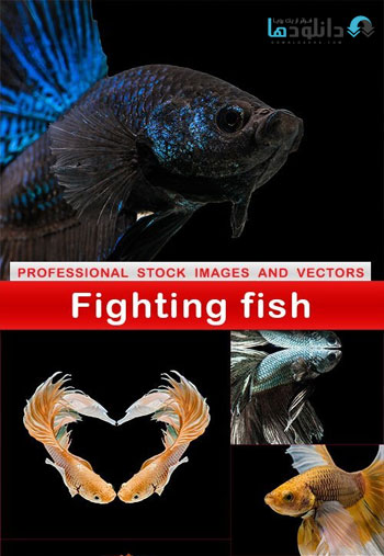 fighting-fish