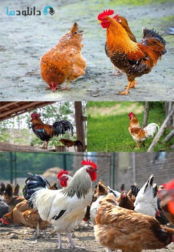 rooster-s-shutter-stock