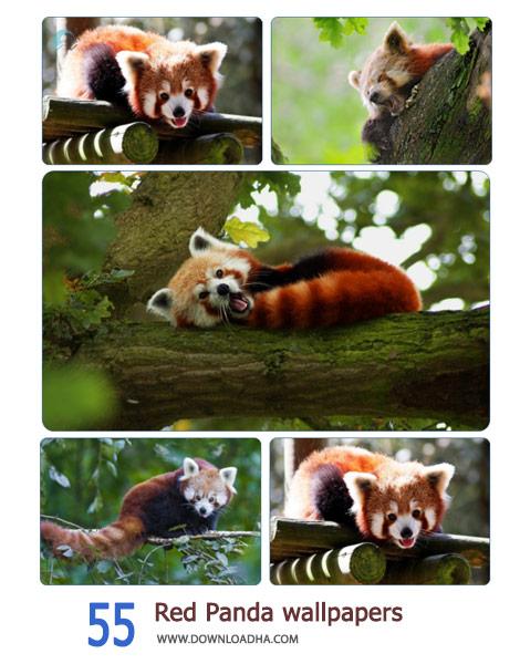 55-Red-Panda-wallpapers-Cover