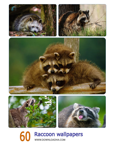 60-Raccoon-wallpapers-Cover