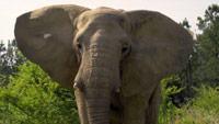 دانلود-مستند-BBC-Attenborough-and-the-Giant-Elephant