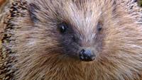 دانلود-مستند-Channel-5-Meet-the-Hedgehogs