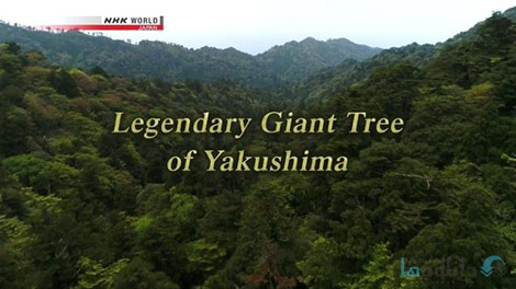 دانلود-مستند-NHK-Legendary-Giant-Tree-of-Yakushima