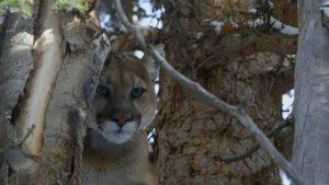 اسکرین-شات-Mountain-Lions-Big-Cats-in-High-Places